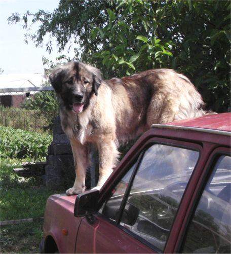 Bakara čeven 2006